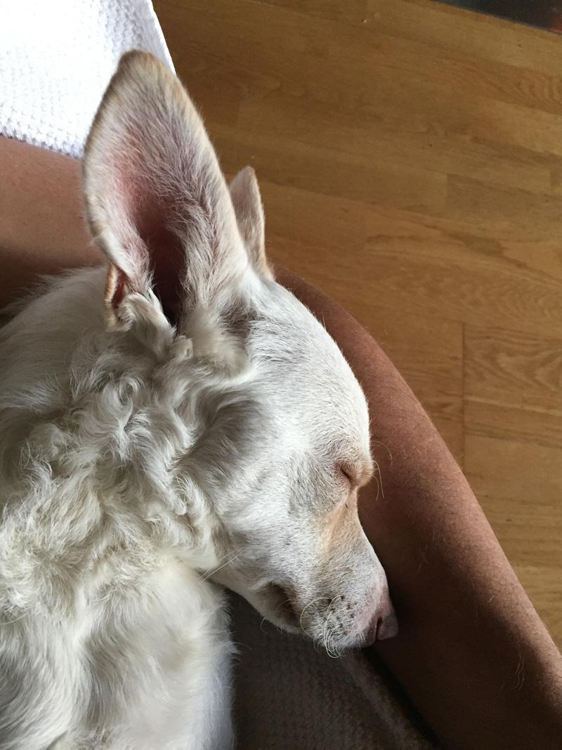 Tierarzt Dr. Ina Hipp - Mobile Tierarztpraxis für Kleintiere rund um den Starnberger See - schlafender Hund
