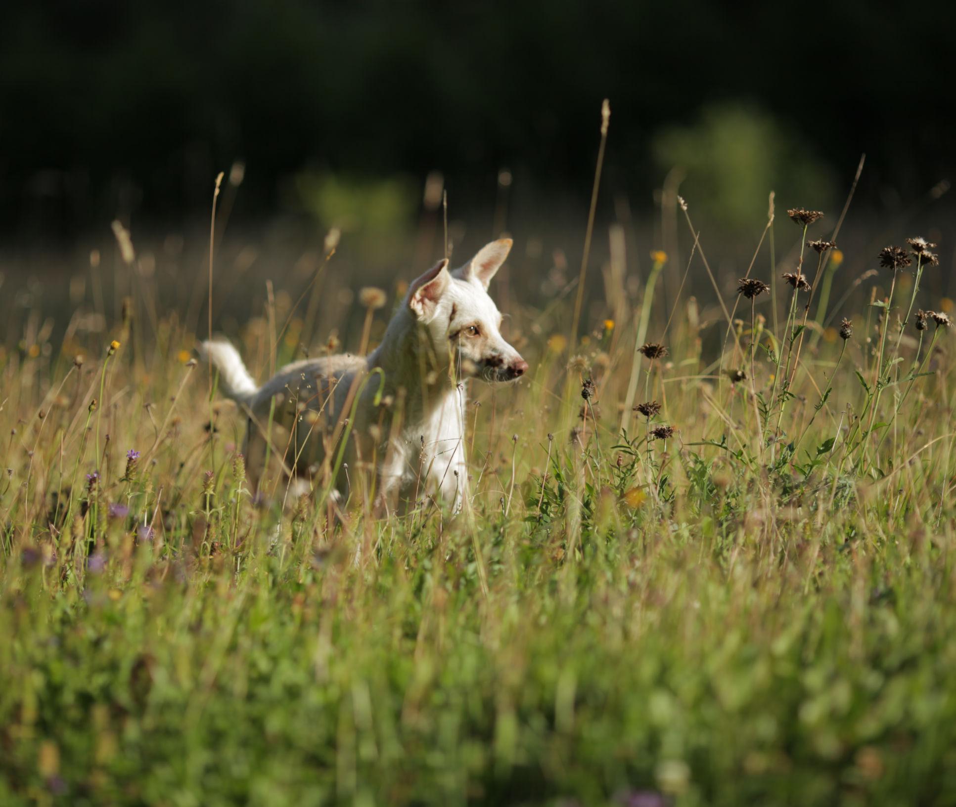 Tierarzt Dr. Ina Hipp - Alternative Heilmethoden - Starnberger See - Hund in Blumenwiese